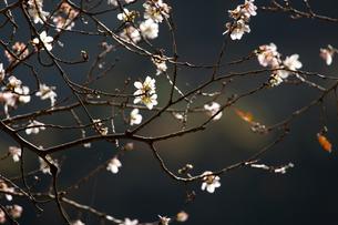 マイントピア別子に咲く冬桜の写真素材 [FYI01824242]