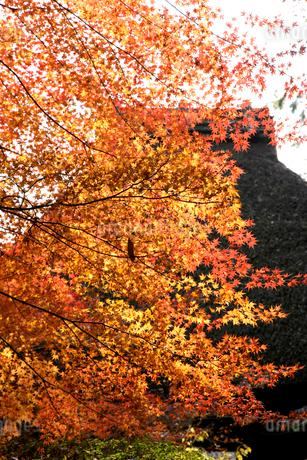 秋の臥龍山荘 の写真素材 [FYI01824413]