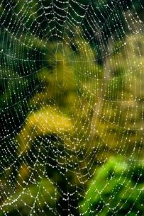 蜘蛛の糸と水滴 の写真素材 [FYI01824614]
