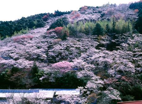 桜咲く牧野公園の写真素材 [FYI01824782]