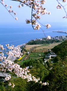 ローカル列車と桜の写真素材 [FYI01824819]
