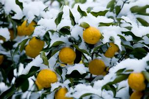 雪を被ったユズの実の写真素材 [FYI01824832]
