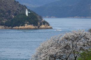 桜咲く来島海峡を巡る急流観潮船 観光船の写真素材 [FYI01825053]