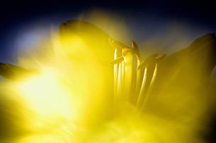 黄色の花のイメージの写真素材 [FYI01825063]