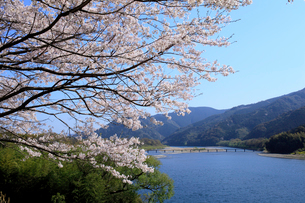 四万十川 佐田沈下橋と桜の写真素材 [FYI01825214]