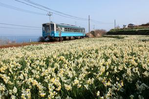 スイセン畑とローカル列車の写真素材 [FYI01825291]