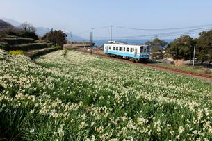 スイセン畑とローカル列車の写真素材 [FYI01825305]
