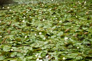 水面に広がるスイレンの花の写真素材 [FYI01825416]