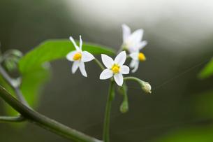 イヌホオズキの花の写真素材 [FYI01825439]