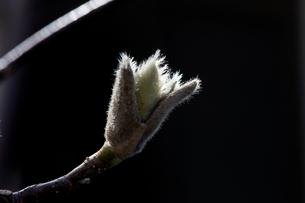 モクレンの芽吹きの写真素材 [FYI01825447]
