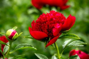 シャクヤクの花の写真素材 [FYI01825537]