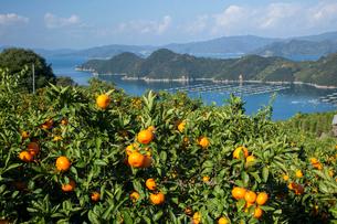ミカン畑と宇和海の写真素材 [FYI01825543]