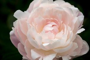 シャクヤクの花の写真素材 [FYI01825585]