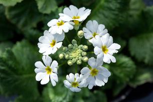 プリムラの花の写真素材 [FYI01825588]