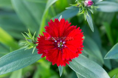セキチクの花の写真素材 [FYI01825637]