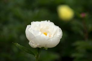 シャクヤクの花の写真素材 [FYI01825665]
