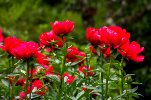 シャクヤクの花の写真素材 [FYI01825676]