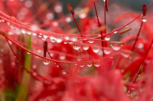 ヒガンバナのおしべについた水滴の写真素材 [FYI01825683]