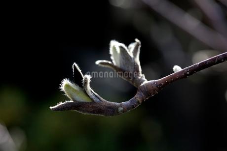 モクレンの芽吹きの写真素材 [FYI01825687]