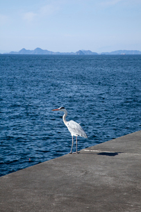 海を見つめるシラサギの写真素材 [FYI01825728]