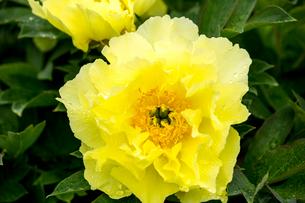 シャクヤクの花の写真素材 [FYI01825730]