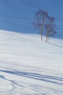 雪原の中の若木の写真素材 [FYI01825802]