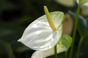 白いアンスリウムの花の写真素材 [FYI01825810]