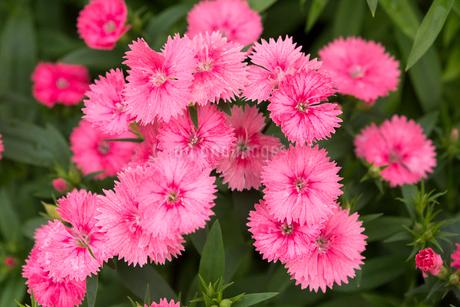 セキチクの花の写真素材 [FYI01825843]