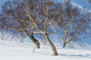 八方尾根より残雪とダケカンバの樹々たちの写真素材 [FYI01825863]