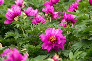 シャクヤクの花の写真素材 [FYI01825868]