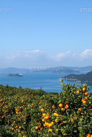 ミカン畑と宇和海の写真素材 [FYI01825911]