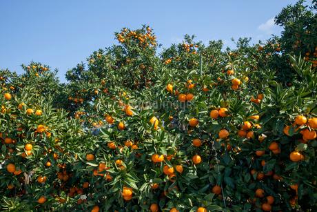 温州みかん畑の写真素材 [FYI01825918]