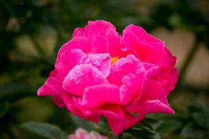 シャクヤクの花の写真素材 [FYI01825944]