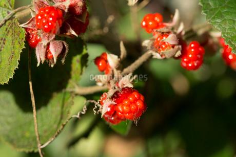 フユイチゴの実の写真素材 [FYI01825987]