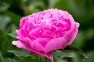 シャクヤクの花の写真素材 [FYI01826055]