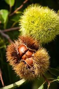 栗の実といが栗の写真素材 [FYI01826068]