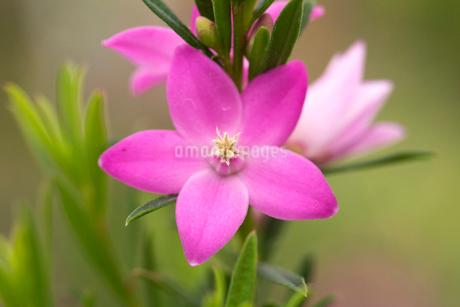 サザンクロスの花の写真素材 [FYI01826091]
