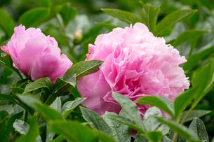 シャクヤクの花の写真素材 [FYI01826098]