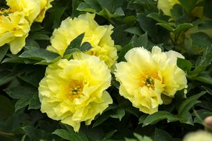 シャクヤクの花の写真素材 [FYI01826366]