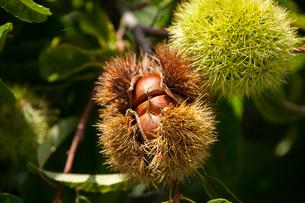 栗の実といが栗の写真素材 [FYI01826390]