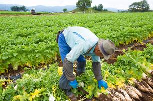 大根畑で働く農夫の写真素材 [FYI01827162]