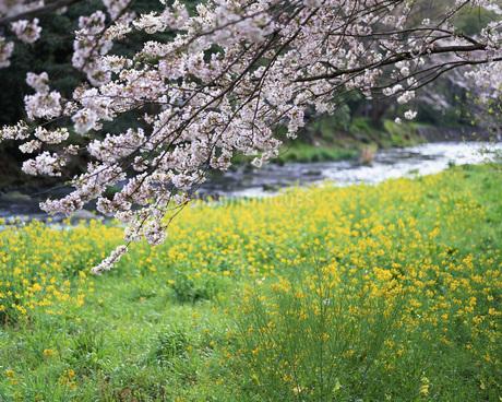 菜の花と小川の写真素材 [FYI01834677]