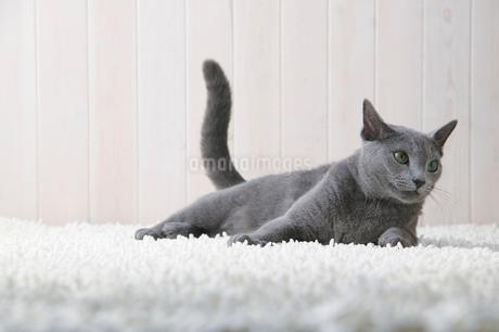 猫のロシアンブルーの写真素材 [FYI01836622]