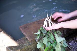 日野菜を洗う手の写真素材 [FYI01838166]