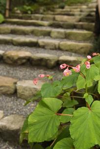 三千院の石段と花(シュウカイドウ)の写真素材 [FYI01842281]