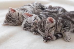 毛布の上で眠るアメリカンショートヘアーの写真素材 [FYI01847268]