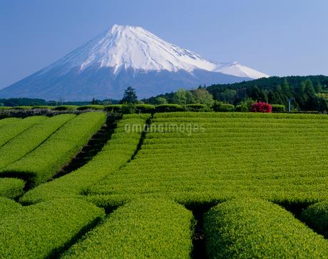 富士市 茶畑と富士山の写真素材 [FYI01851254]