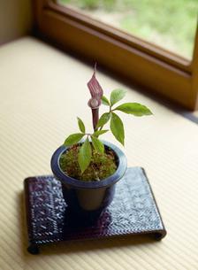 茶室の植物の写真素材 [FYI01859700]