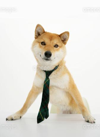 机に手をつく柴犬の写真素材 [FYI01864666]