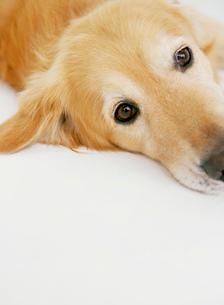 こちらを見つめる犬(ゴールデンレトリバー)の写真素材 [FYI01866172]